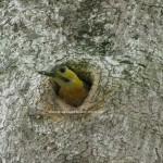 Carpintero en su nido