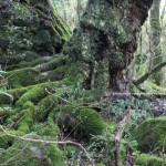 En estos añosos troncos de árboles puede apreciarse la variedad de plantas, musgos, hiedras, donde unas viven a expensas de las otras en una perfecta simbiosis.